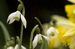 Close up image of daffodills and snowdrops to illustrate how colour impacts how we feel.