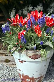 Image of a teracotta pot planted with grape hyancinths and red tulips