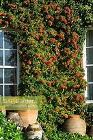Image of the front of a house with a pyracantha growing up between the windows