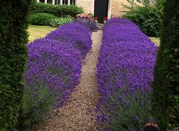 Image of two rows of vivid lavender bushes either side of a front path