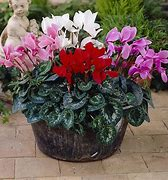 Image of a pot planted with dark pink, light pink and white cyclamen, on a patio